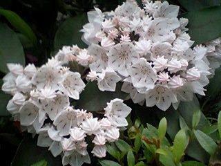 この花のつぼみがアポロチョコみたい