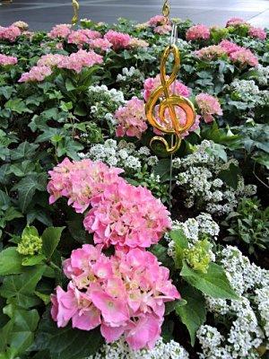 東京国際フォーラム、花壇のアジサイ(ピンク)
